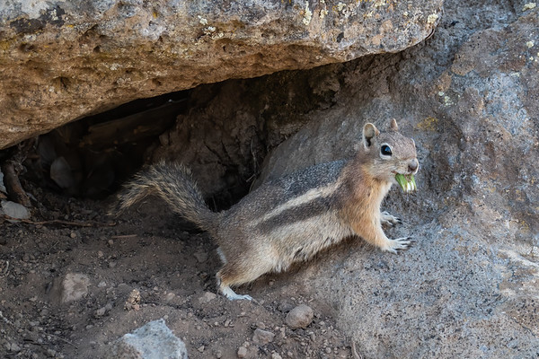 white-tailed antelope squirrel, Ammospermophilus leucus (Rodentia, Sciuridae). Drive Rim Lake, Dixie National Forest, Garfield County Utah USA