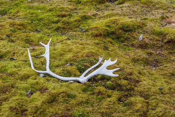 Reindeer, Rangifer tarandus platyrhynchus