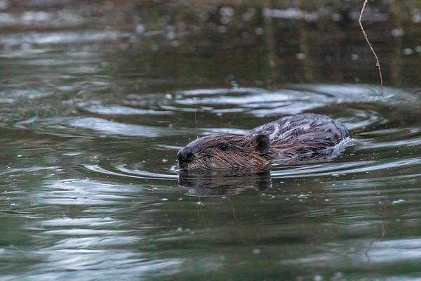 beaver,  castor canadensis (Rodentia, Castoridae). East Fork Creek of Sevier River, Dixie National Forest, Kane County, Utah USA