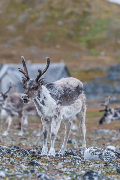 reindeer, Rangifer tarandus platyrhynchus (Cervidae). Bellsund, Spitsbergen, Svalbard Norway