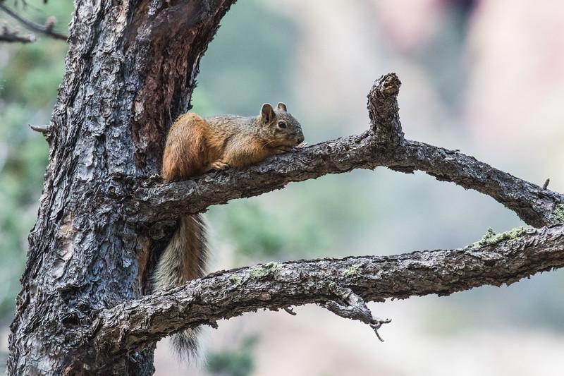 Mexican fox squirrel, Sciurus nayaritensis (Rodentia, Sciuridae). South Fork, Chiricahua Mountains, Cochise County, Arizona USA