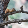 Mexican fox squirrel, <i>Sciurus nayaritensis</i> (Rodentia, Sciuridae). South Fork, Chiricahua Mountains, Cochise County, Arizona USA