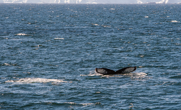 humpback whale, Megaptera novaeangliae (Balaenopteridae). Neumayer Channel, Antarctica