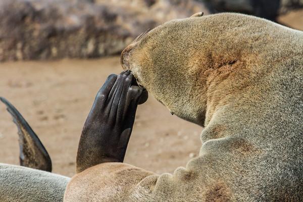 cape (brown)seal, Arctocephalus pusillus pusillus (Otaridae). Cape Cross, Erongo Namibia Africa