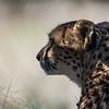 captive cheetah, <i>Acinonyx jubatus</i> (Felidae). Cheetah Conservation Fund, Otjozondjupa Namibia