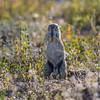 South African ground squirrel, <i>Geosciurus Xerus inauris</i> (Sciuridae).  Etosha N.P., Oshana Namibia