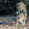 vervet monkey, <i>Ceropithecus (aethiops) pygerythus</i> (Cercopithecidae). Rucana, Omusati Namibia Africa
