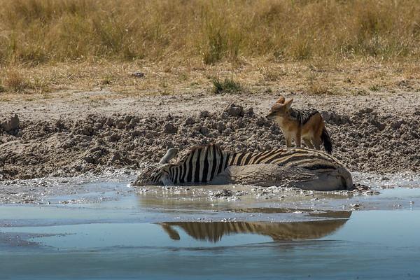 black-backed jackel, Canis mesomelas (Canidae) checking  out a dead zebra at a waterhole. Etosha N.P., Oshana Namibia Africa