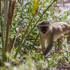 vervet monkey, <i>Ceropithecus (aethiops) pygerythus</i> (Cercopithecidae). Epupa, Kunene Namibia Africa