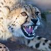 captive cheetah, <i>Acinonyx jubatus</i> (Felidae). Sophienhof, Kunene Namibia