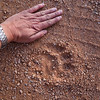 lion tracks in the campsite, <i>Panthera leo</i> (Felidae). Hobatere, Kunene Namibia