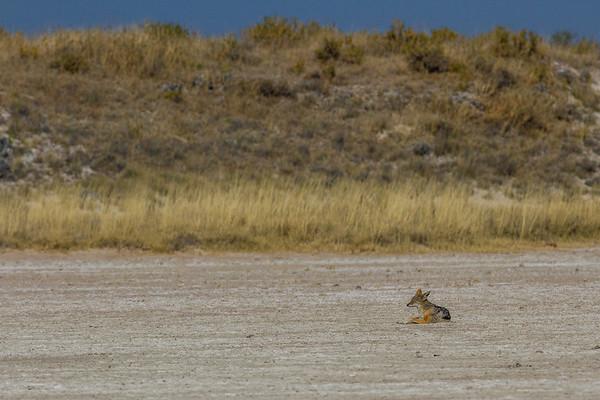 black-backed jackel, Canis mesomelas (Canidae). On the Etosha Pan, Etosha N.P., Oshikota Namibia Africa