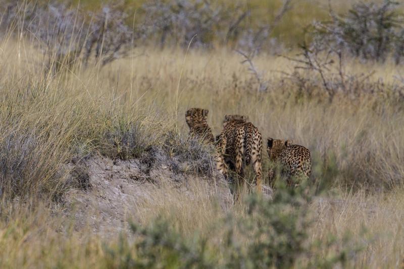 3 male cheetahs running into the grass, <i>Acinonyx jubatus</i> (Felidae). Etosha N.P., Oshikota Namibia