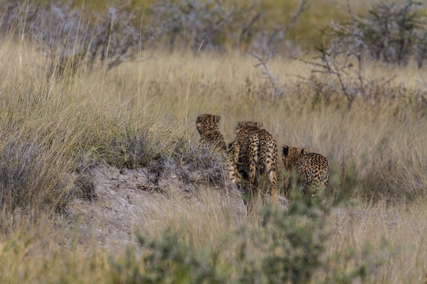 3 male cheetahs running into the grass, Acinonyx jubatus (Felidae). Etosha N.P., Oshikota Namibia Africa