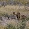 3 male cheetahs running into the grass, <i>Acinonyx jubatus</i> (Felidae). Etosha N.P., Oshikota Namibia