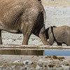 african elephant, <i>Loxodonta africana</i> (Elephantidae). Etosha N.P., Omusati Namibia Africa