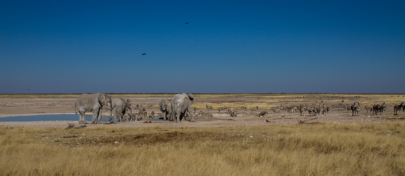 african elephant, Loxodonta africana (Elephantidae). Etosha N.P., Oshikota Namibia Africa