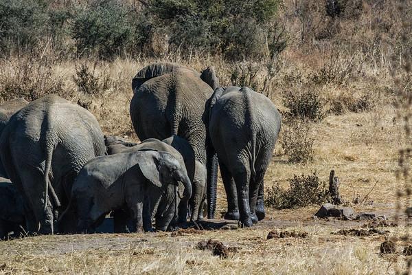 african elephant, Loxodonta africana (Elephantidae). Khaudum N.P., Kavango Namibia Africa