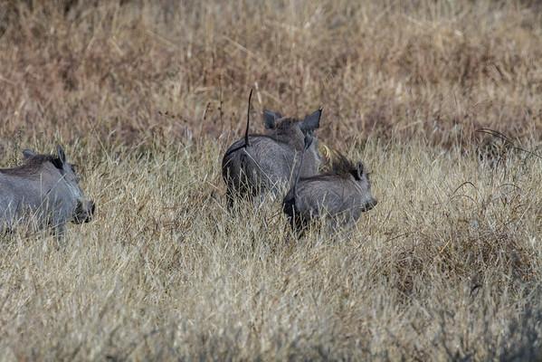 common warthog, Phacochoerus africanus (Suidae). Khaudum N.P., Kavango Namibia Africa