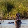 hippopotamus, <i>Hippopotamus amphibius</i> (Hippopotamidae). Kwando, Kavango Namibia