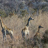 giraffe, <i>Giraffa camelopardalis angolensis</i> (Giraffidae). Khaudum N.P., Kavango Namibia Africa