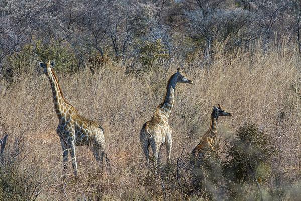 giraffe, Giraffa camelopardalis angolensis (Giraffidae). Khaudum N.P., Kavango Namibia Africa