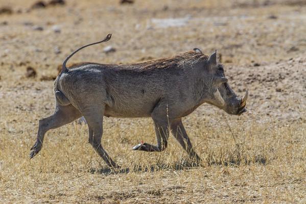 common warthog, Phacochoerus africanus (Suidae). Etosha N.P., Omusati Namibia Africa