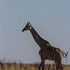 giraffe, <i>Giraffa camelopardalis angolensis</i> (Giraffidae). Etosha N.P., Oshikota Namibia Africa