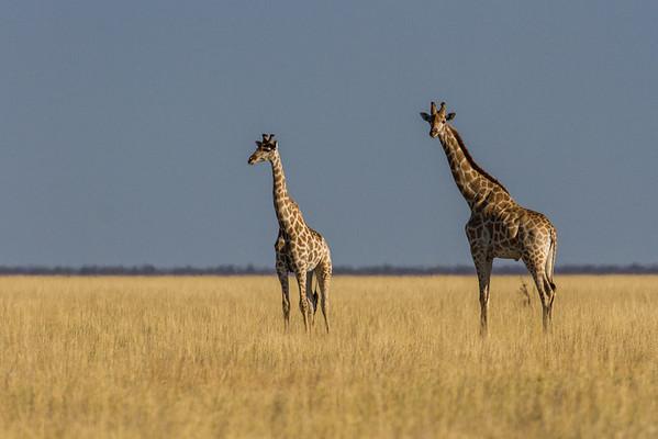 giraffe, Giraffa camelopardalis angolensis (Giraffidae). Etosha N.P., Oshikota Namibia Africa