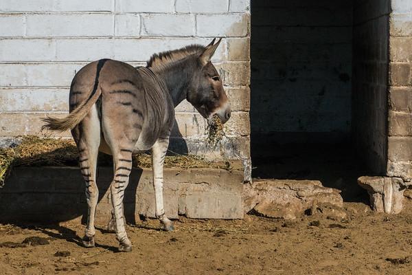 zonkey zebroid, Equus sp. (Equidae). Swakopmund, Erongo Namibia Africa