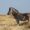 Burchell's zebra, <i>Equus quagga burchelli</i> (Equidae). Etosha N.P., Oshana Namibia Africa