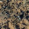 scat from Hartmann's mountain zebra, <i>Equus zebra hartmannae</i> (Equidae). Erongo Namibia Africa