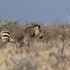 Hartmann's mountain zebra, <i>Equus zebra hartmannae</i> (Equidae). Etosha N.P., Omusati Namibia