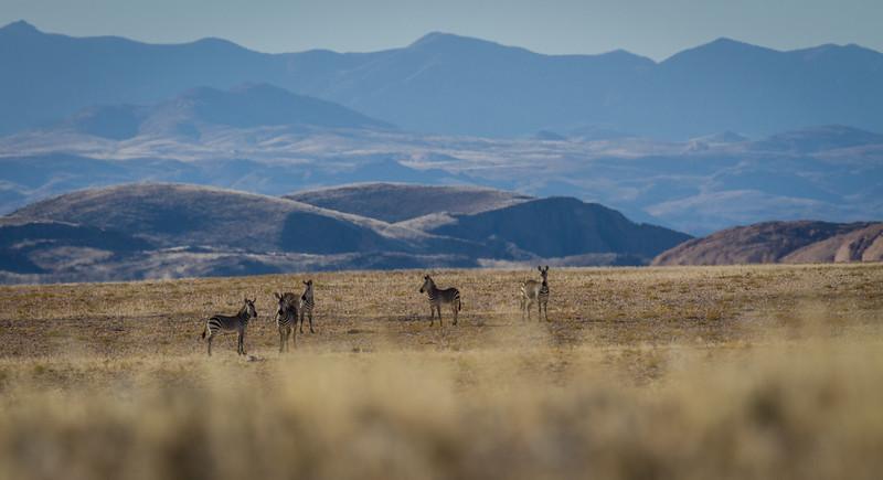 Hartmann's mountain zebra, Equus zebra hartmannae (Equidae). Erongo Namibia Africa
