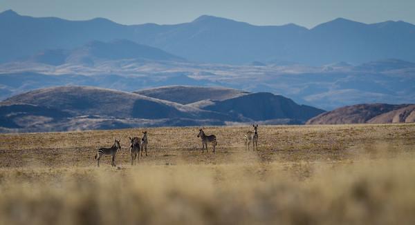 Hartmann's mountain zebra, <i>Equus zebra hartmannae</i> (Equidae). Erongo Namibia Africa