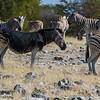 Mutated patterned Burchell's zebra, <i>Equus quagga burchelli</i> (Equidae). Etosha N.P., Oshikota Namibia Africa