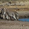 Burchell's zebra, <i>Equus quagga burchelli</i> (Equidae). Etosha N.P., Omusati Namibia Africa