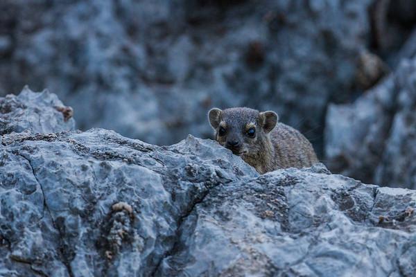 rock hyrax  (dassie), Procavia capensis (Procavidae). Sophienhof, Kunene Namibia Africa