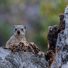 rock hyrax  (dassie), <i>Procavia capensis</i> (Procavidae). Sophienhof, Kunene Namibia Africa
