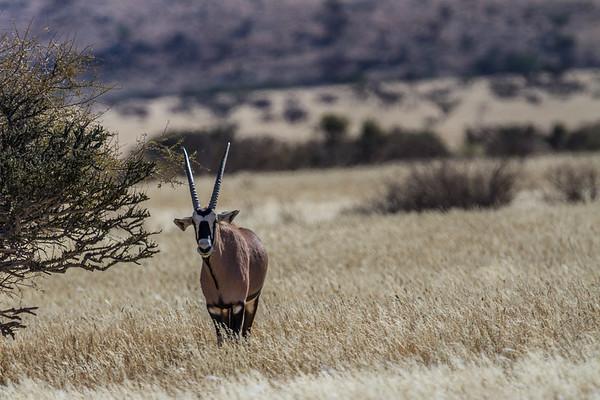 southern oryx (gemsbok), Oryx gazella (Bovidae). Erongo Namibia Africa