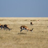 springbok, <i>Antidorcas marsupialis</i> (Bovidae). Etosha N.P., Oshana Namibia Africa