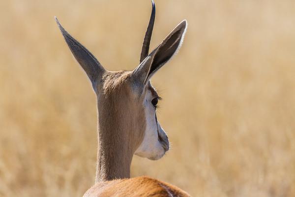 springbok, Antidorcas marsupialis (Bovidae). Etosha N.P., Omusati Namibia Africa