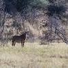 roan antelope, <i>Hippotragus equinus</i> (Bovidae). Khaudum N.P., Kavango Namibia Africa