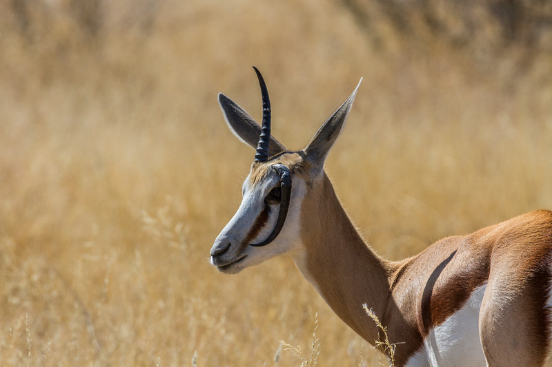 springbok, <i>Antidorcas marsupialis</i> (Bovidae). Etosha N.P., Omusati Namibia Africa
