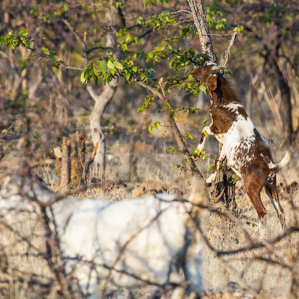 domestic goat, <i>Capra hircus aegagrus</i> (Bovide). Epupa, Kunene Namibia Africa
