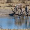greater kudu, <i>Tragelaphus strepsiceros</i> (Bovidae). Khaudum N.P., Kavango Namibia Africa