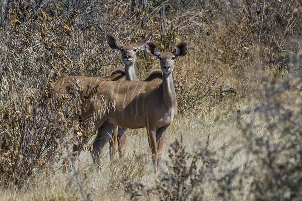 greater kudu, Tragelaphus strepsiceros (Bovidae). Khaudum N.P., Kavango Namibia Africa