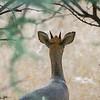 Kirk's dikdik, <i>Madoqua kirkii</i> (Bovidae). Sophienhof, Kunene Namibia Africa