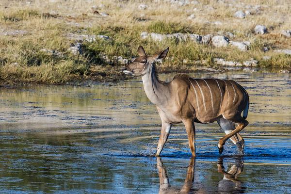 greater kudu, Tragelaphus strepsiceros (Bovidae). Etosha N.P., Oshikota Namibia Africa