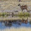 greater kudu, <i>Tragelaphus strepsiceros</i> (Bovidae). Etosha N.P., Oshikota Namibia Africa